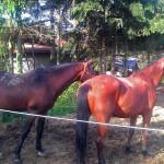 cavalli_4